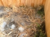 chickadee-eggs2