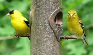 american-goldfinches