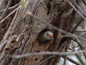 Redbellied Woodpecker 1