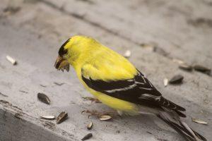 goldfinch-down
