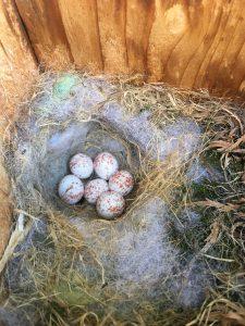 chickadee eggs